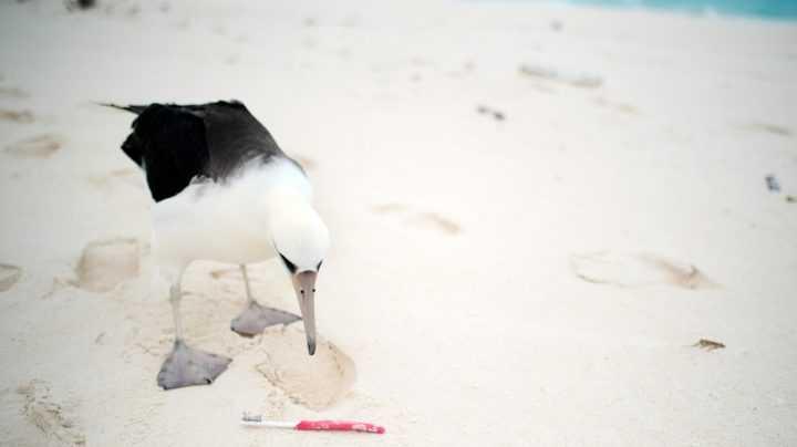 En las playas del atolón de Midway se han encontrado en un año 705 cepillos de dientes